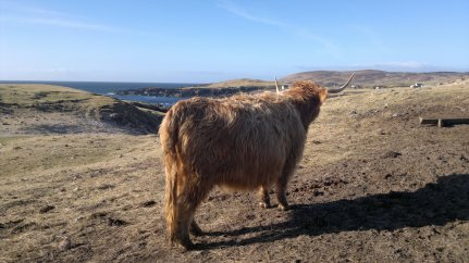 Highland Cow at Clachtoll, Sutherland