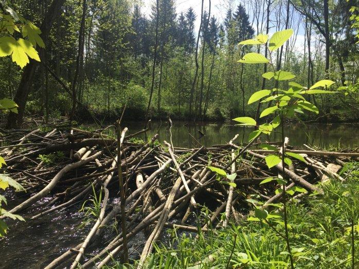 bavaria beaver dam - peter cooper